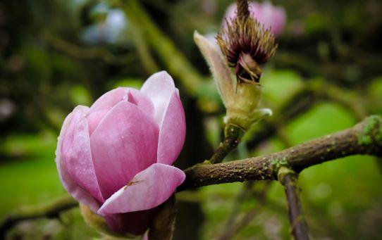 magnolia_fota_house_and_gardens_ireland