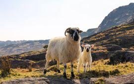 sheeps in Caha Mountains, climbing in Ireland