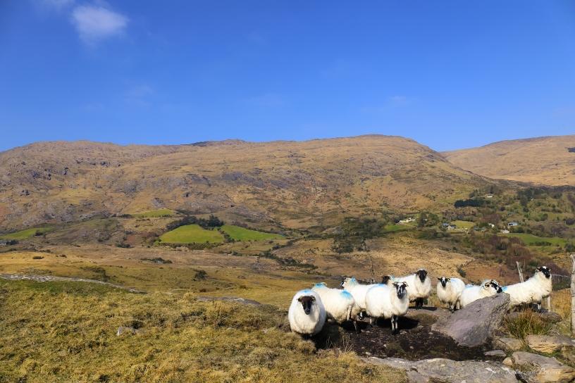 Sheeps in Caha Mountains, Glengariff, County Cork, Ireland